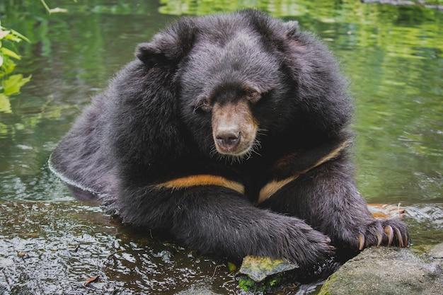 Azjatycki czarny niedźwiedź ursus thibetanus odpoczywa w wodzie w dusit zoo tajskie wezwanie niedźwiedź bawół