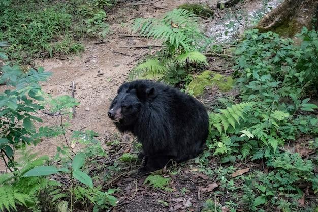 Azjatycki czarny niedźwiedź ursus thibetanus znany również jako niedźwiedź księżycowy i niedźwiedź białopiersi odpoczywający w zoo