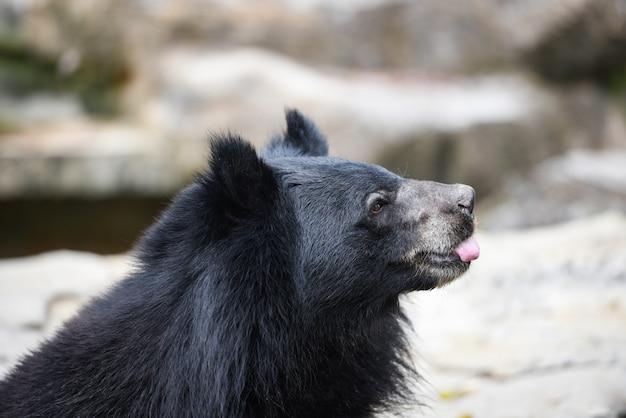 Azjatycki czarny niedźwiedź w zoo