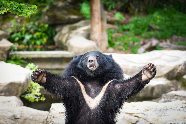 Azjatycki czarny niedźwiedź