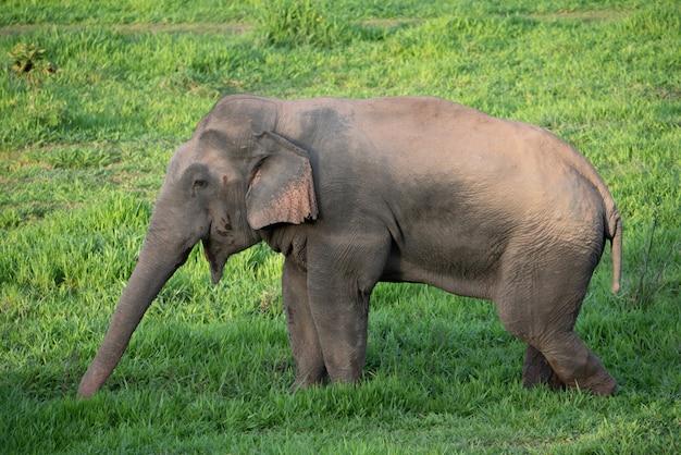 Azjatycki dziki słonia łasowania trawa w lesie.