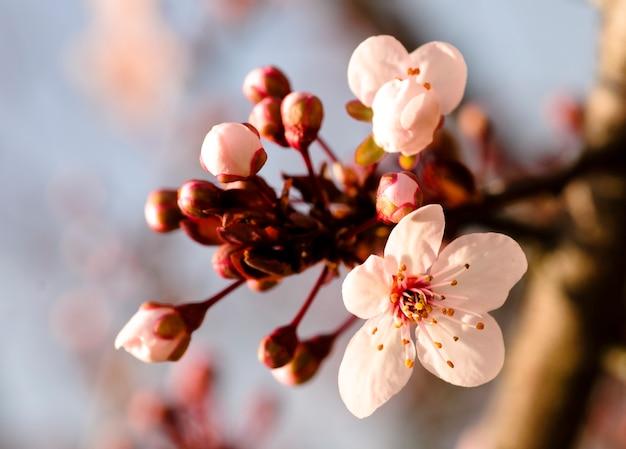 Azjatycki kwiat śliwki makro. niewielka głębokość pola. skoncentruj się na pręcikach