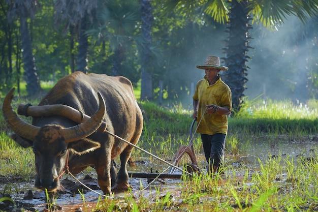 Azjatycki mężczyzna używający bawoła do orki pod uprawę ryżu w porze deszczowej, wiejska wieś tajlandii