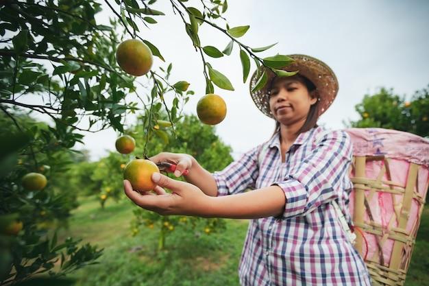 Azjatycki ogrodnik kobieta z koszem na plecach zbieranie pomarańczy nożyczkami w ogrodzie pola pomarańczy w godzinach porannych.