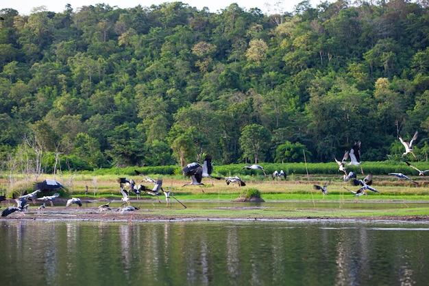 Azjatycki openbill lub azjatycki bocian openbill na drzewach w przyrodzie.