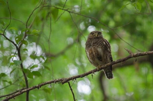 Azjatycki owlet (glaucidium cuculoides)