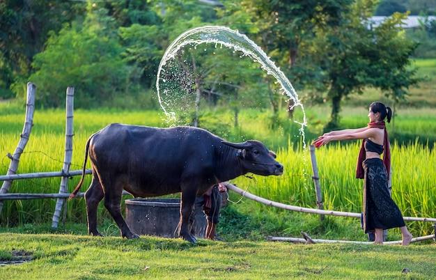 Azjatycki rolnik i bawół na polu ryżowym, azjatka kocha i obsypuje swojego bawola na tajlandzkich obszarach wiejskich.