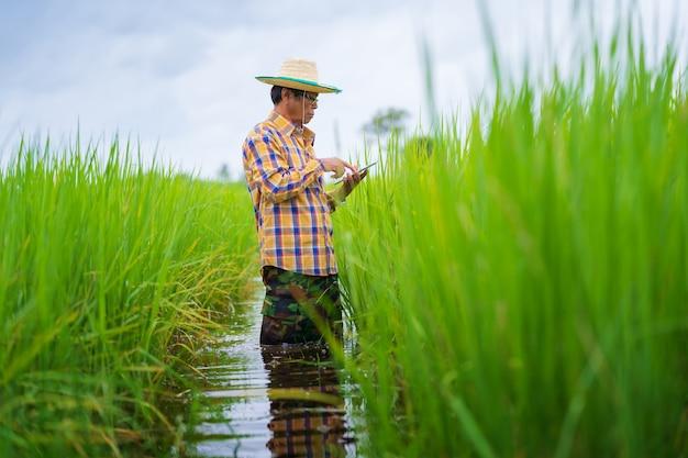 Azjatycki rolnik używa cyfrową pastylkę w zielonym ryżu polu, mądrze technologii rolnictwa pojęcie