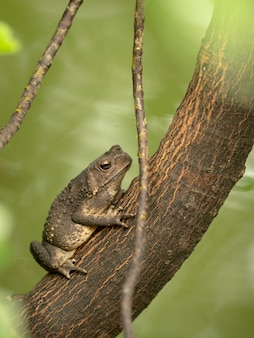 Azjatycki ropucha pospolita, ropucha czarna, duttaphrynus melanostictus siedzi na drzewie. pionowy.