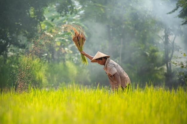 Azjatycki ryżowy rolnik pracuje przy ryżu polem plenerowy pracujący tajlandzki rolnik.