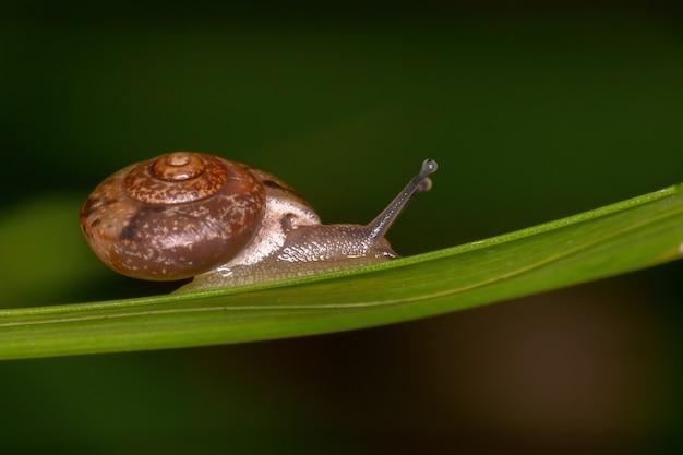 Azjatycki ślimak wędrowny z gatunku bradybaena similaris