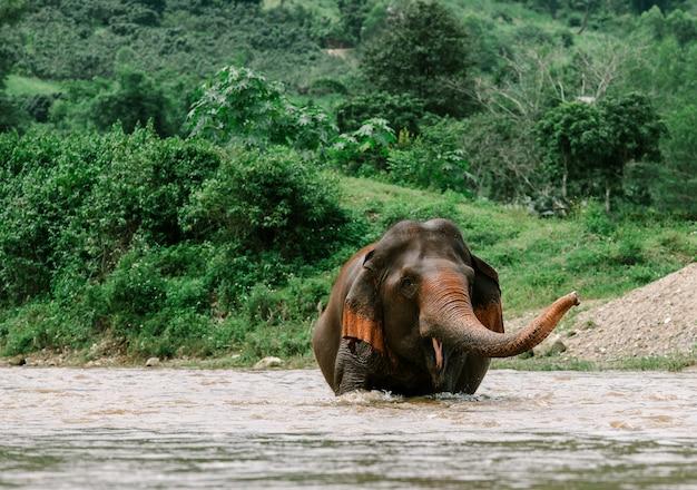 Azjatycki słoń w naturze przy głębokim lasem w tajlandia