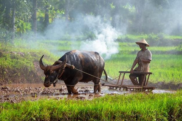 Azjatycki średniorolny działanie z jego bizonem, rolnik thailand.