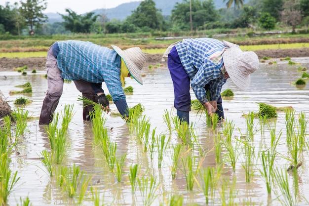 Azjatycki średniorolny ryżowy flancowanie przy pracą