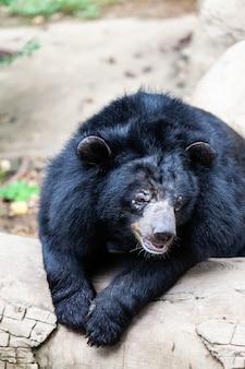 Azjatycki wielki czarny niedźwiedź. niebezpieczeństwo, ssaku.