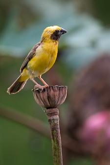 Azjatycki złoty tkacza ptak