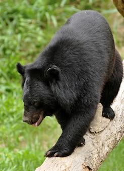 Azjatyckie czarne niedźwiedzie wyglądają jak amerykańskie czarne niedźwiedzie