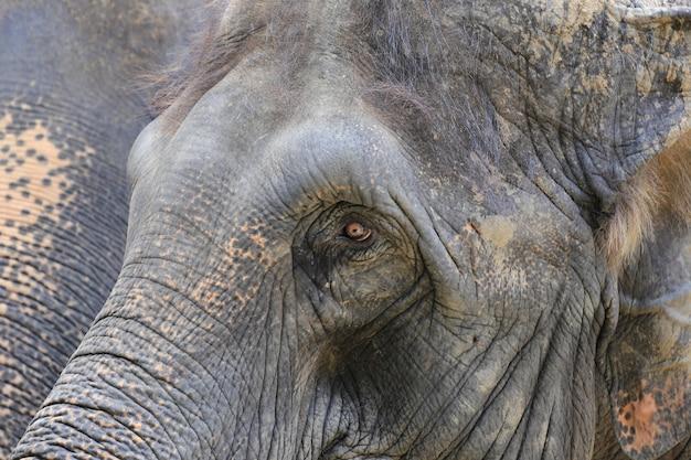 Azjatyckie słonie w zoo.