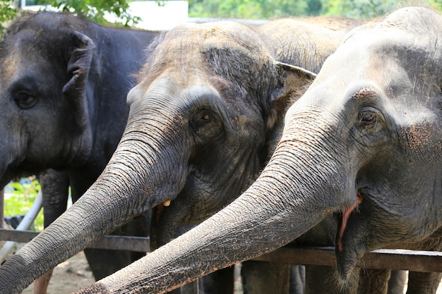 Azjatyckie słonie.