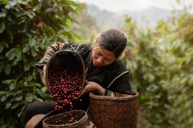 Azjatyckiej kobiety rolnika żniwa arabica czereśniowa kawa w kawy gospodarstwie rolnym przy zakazem ssanie w żołądku khon północny chiang raja, tajlandia.