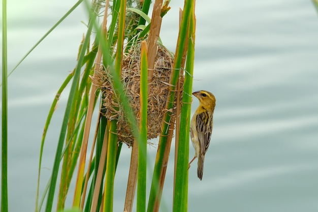 Azjatykci złoty tkacz ptak w naturze.