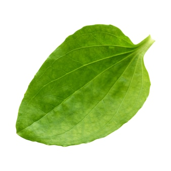 Babka zwyczajna na białym tle. jeden zielony liść, medycyna ludowa.