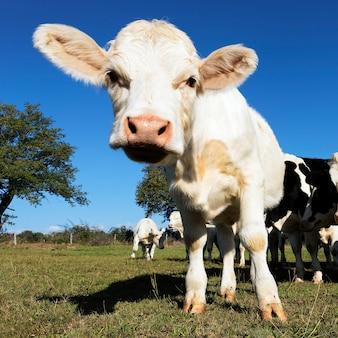 Baby krowa na polach uprawnych latem