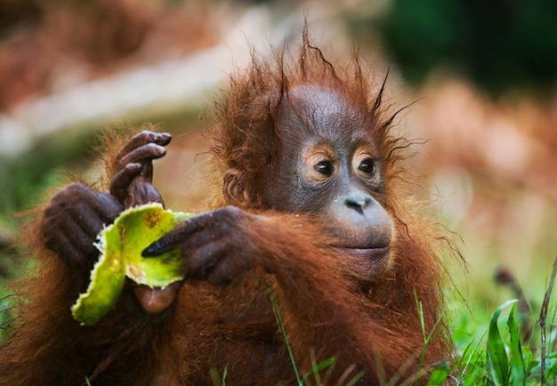 Baby orangutan na miejscu karmienia. indonezja. wyspa kalimantan (borneo).