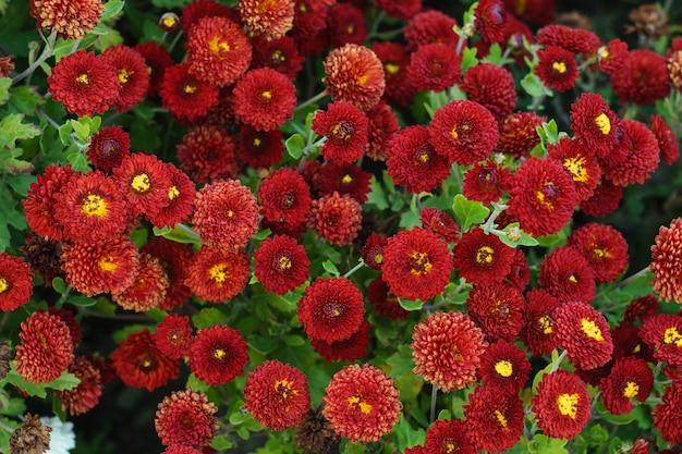 Backgroud małe kwiaty czerwone chryzantemy. zbliżenie