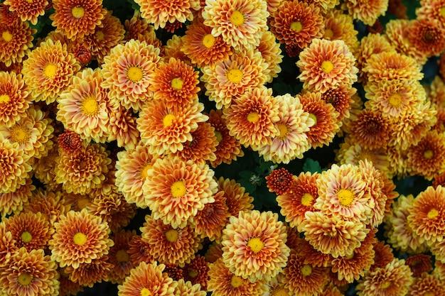 Backgroud małe kwiaty żółto-pomarańczowa chryzantema. zbliżenie