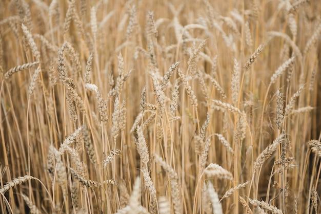 Backgroundobraz zbliżenie spikelets pszenicy na polu. złote kłoski symbol zbioru i płodności. selektywne ustawianie ostrości