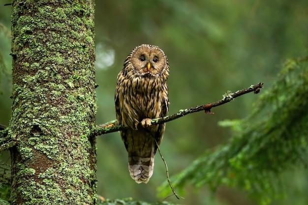 Baczna płowa sowa w lato lesie