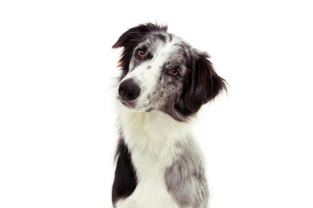 Baczny i myślący border collie pies przechyla głowy stronę odizolowywającą na bielu