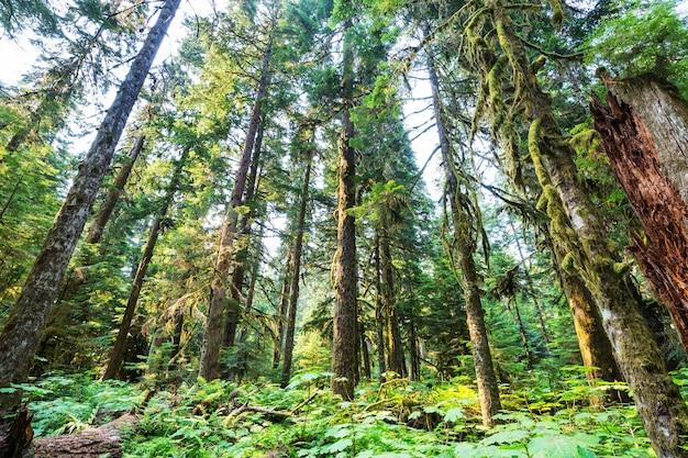Bajeczny las deszczowy w ameryce północnej, waszyngtonie, usa. drzewa pokryte grubą warstwą mchu.