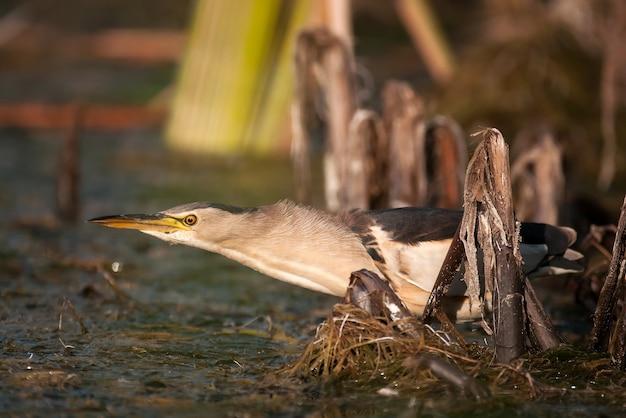 Bąk ixobrychus minutus stoi w wodzie i szuka pożywienia