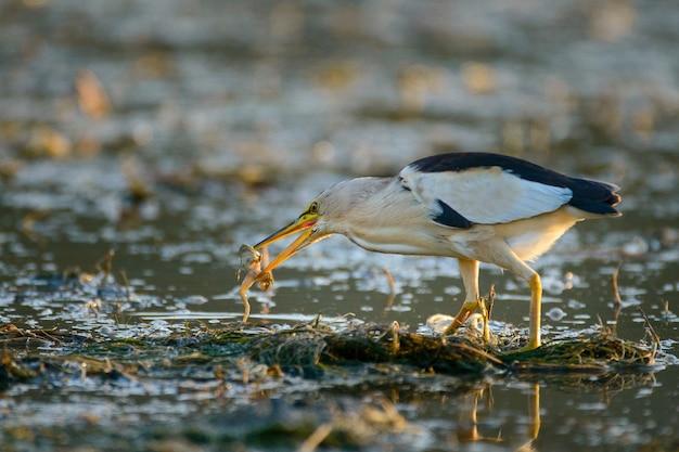 Bąk (ixobrychus minutus) z żabą w dziobie.