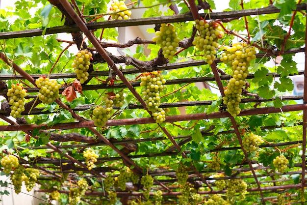 Baldachim białych winogron na patio