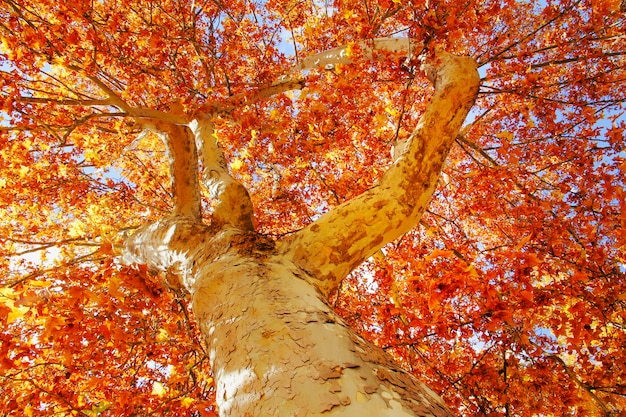 Baldachim drzewa jesienią w czerwonawych i pomarańczowych kolorach.