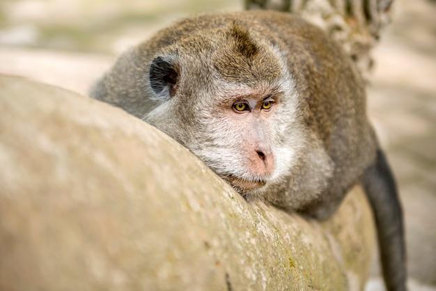 Balijczyk długoogonkowa małpa w sanktuarium