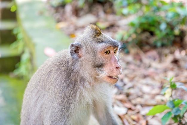Balijczyk długoogonkowa małpa w środowisku naturalnym