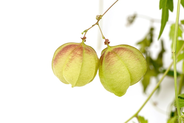 Balon winorośli lub owoce cardiospermum halicacabum na białym tle.