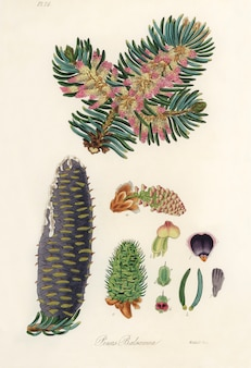 Balsam (pinus balsamea) ilustracja z botaniki medycznej (1836)