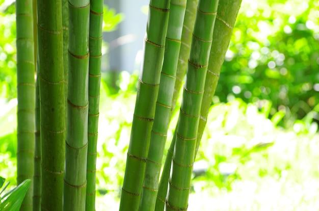 Bambus na białym tle na zielono