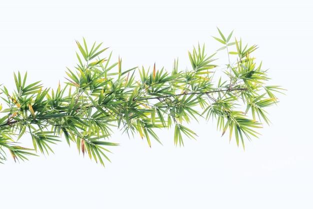 Bambus opuszcza w odosobnionym białym tle