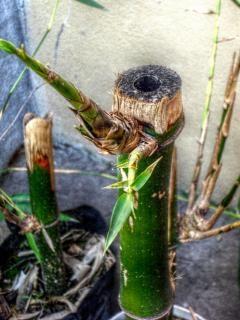 Bambusa roślin
