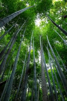 Bambusowa aleja w kioto w słoneczny wiosenny dzień. gęsto rosnące drzewa do siebie. widok z dołu na wierzchołki drzew.