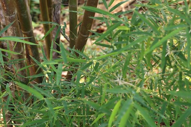 Bambusowa roślina w tropikalnym