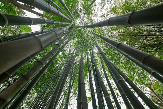Bambusowa zieleń w lesie.