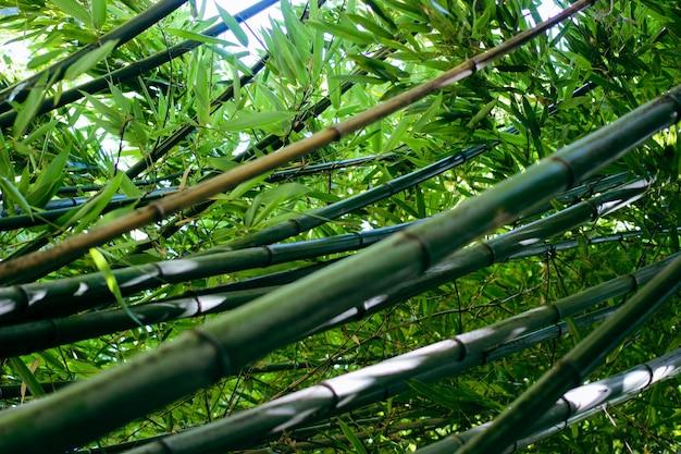 Bambusowe drzewa w ogrodzie botanicznym. streszczenie lato natura tło.