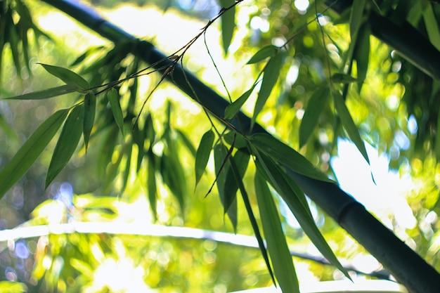 Bambusowe drzewa w ogrodzie botanicznym.
